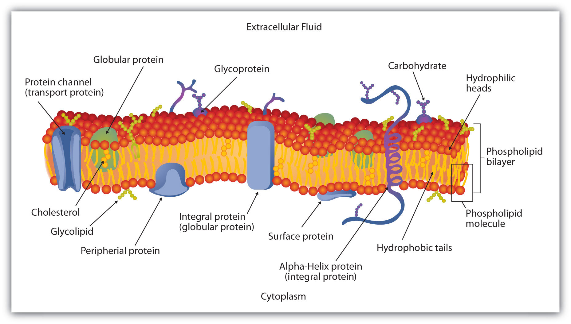 Schematic Diagram of a Cell Membrane