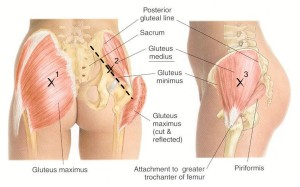 3 types of gluteal muscles