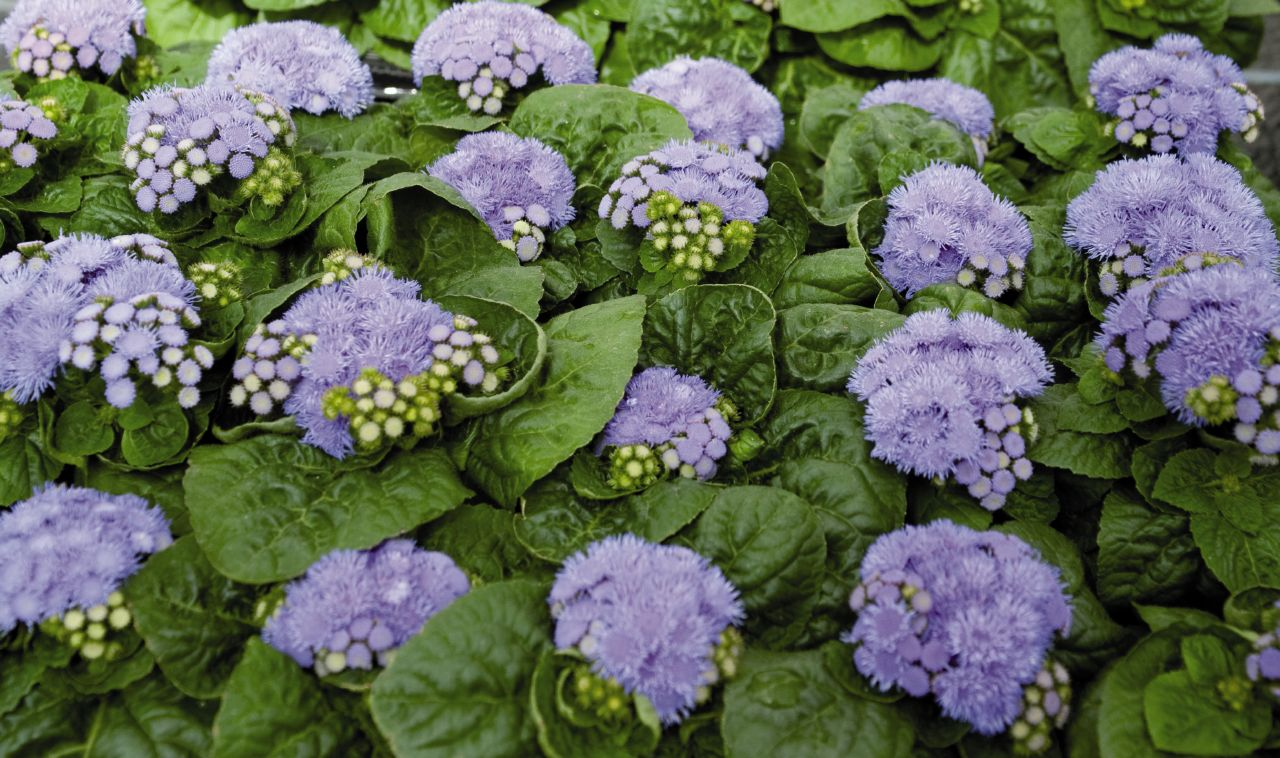 Ageratum - One of the Plants that repel mosquitoes