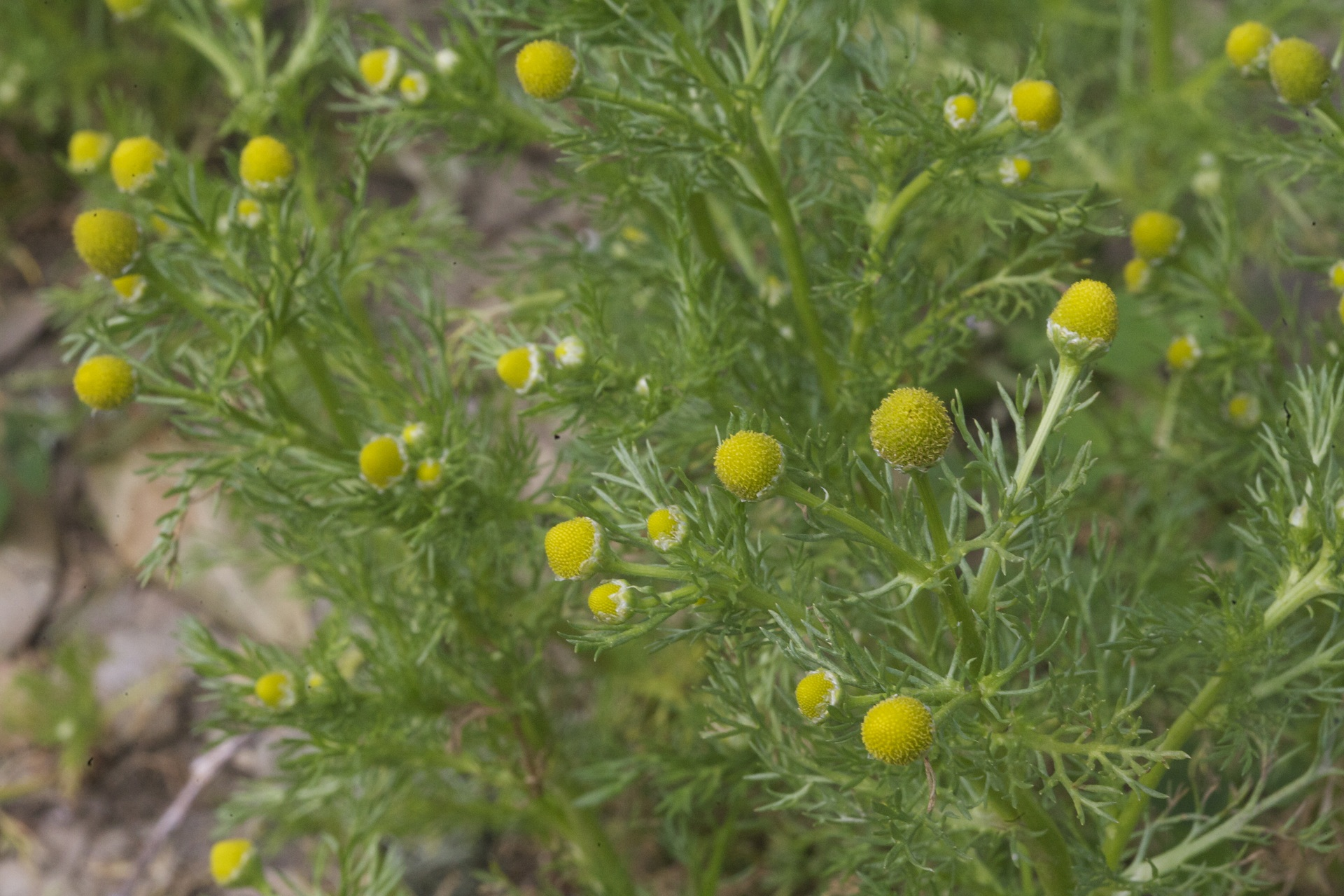 Plant Pineapple weed to keep mosquitoes away
