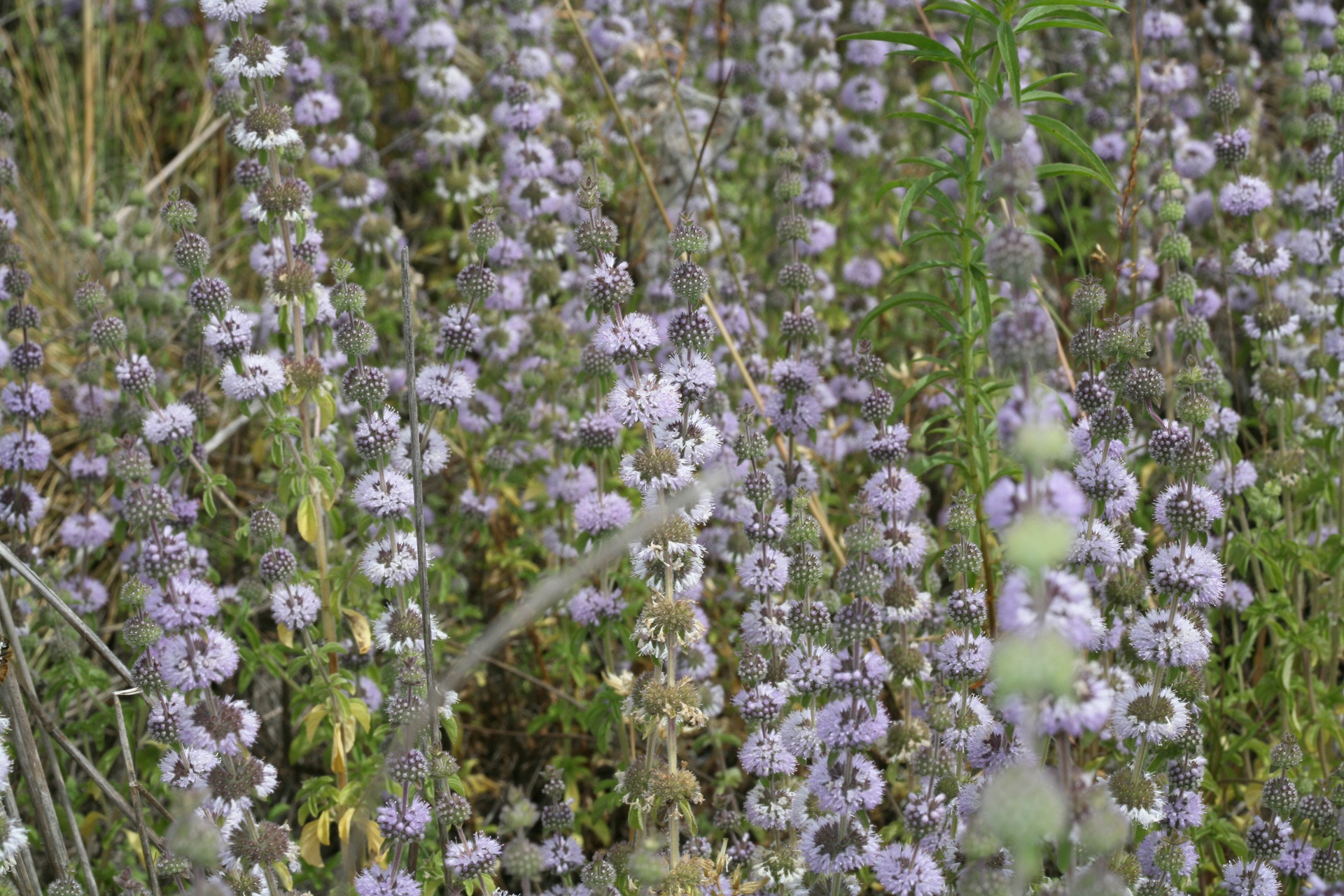 Chemical Composition Of Mentha Pulegium L Pennyroyal: 17 Easy To Grow Plants That Repel Mosquitoes