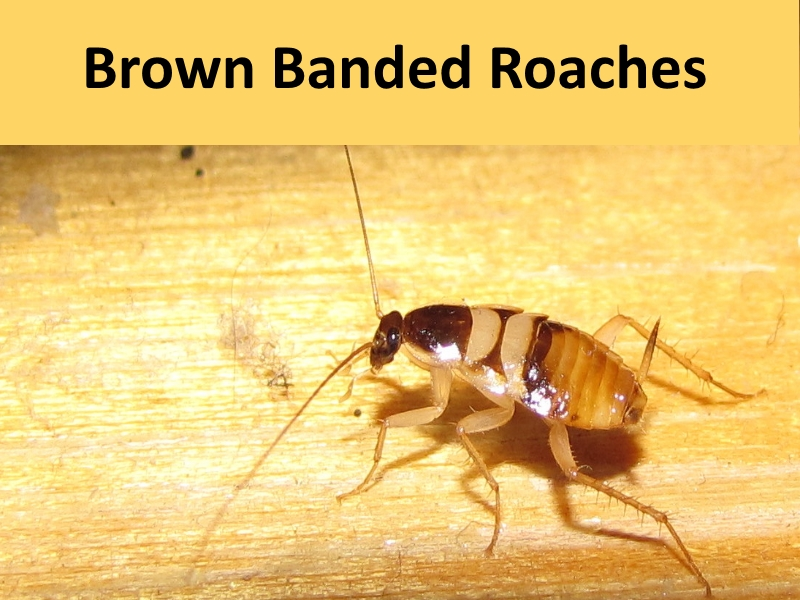 Brown Banded Roaches